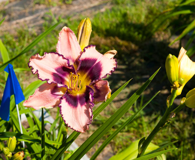 Tips for Planting and Maintaining Perennials in New England
