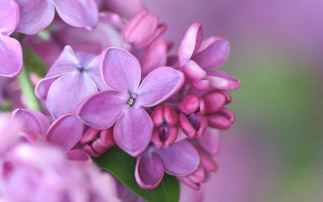 Our New Hampshire lilac and how it came to be